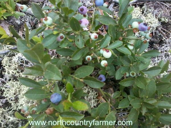 wild blueberriesNCF