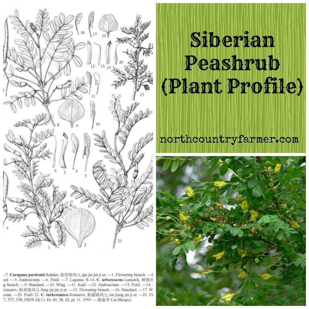 Siberian Peashrub (Plant Profile)